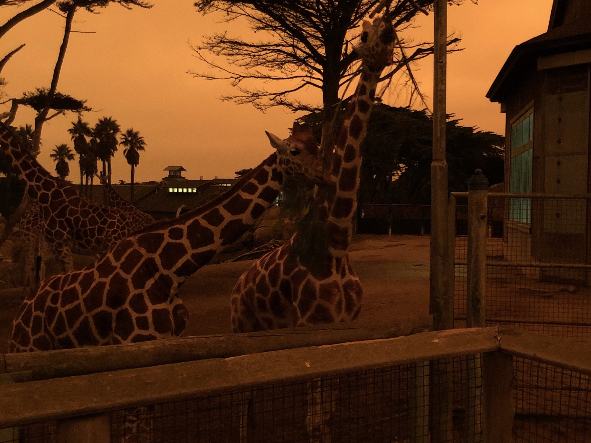 Giraffes at the San Francisco zoo under a red sky my phone couldn't capture
